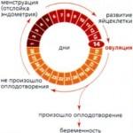 Фазы месячного цикла – в чем же они заключаются?